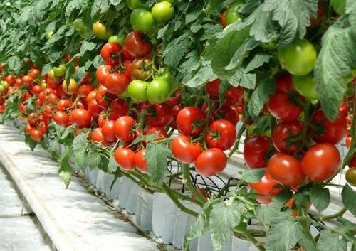 Jak uprawiać pomidory szklarniowe?
